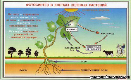 Взаимосвязь фотосинтеза и